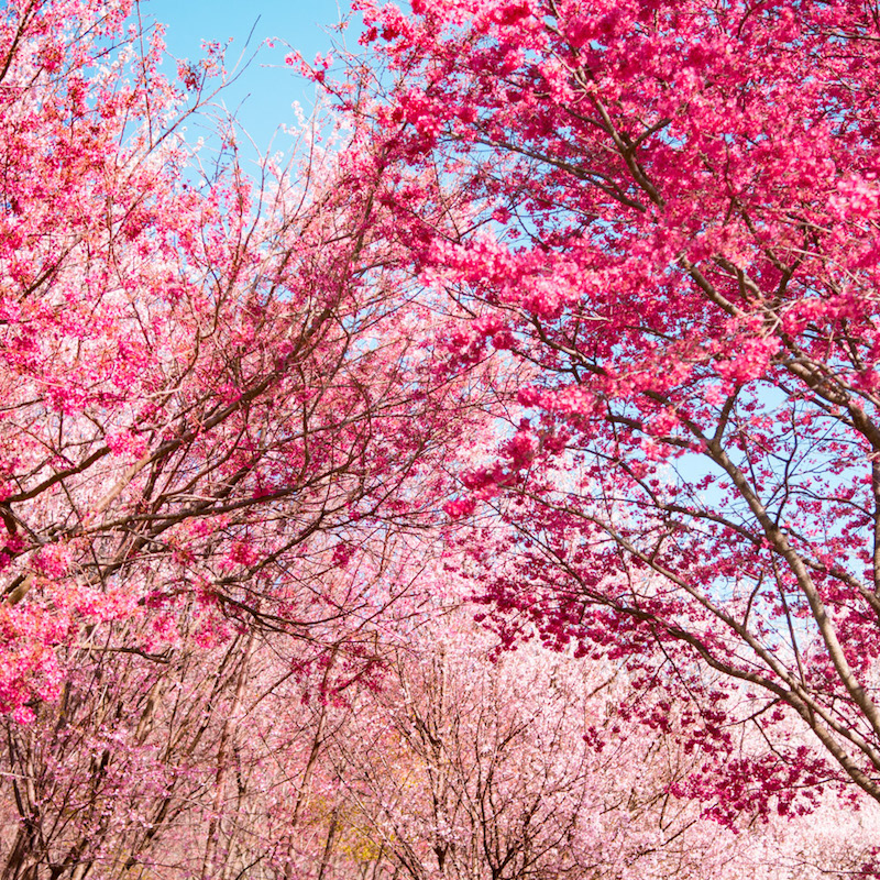 Advice from a cherry blossom tree